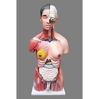 23pc Unisex Human Torso Anatomical Skeleton Model